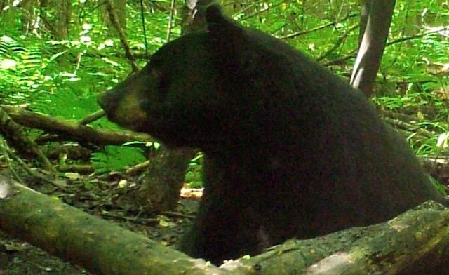 Bear Hunting in Upper Michigan